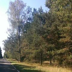 Strasse durch den Kiefernwald auf der Kurischen Nehrung