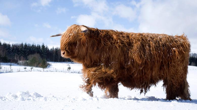 Highlandrind im Winter co Visit Scotland