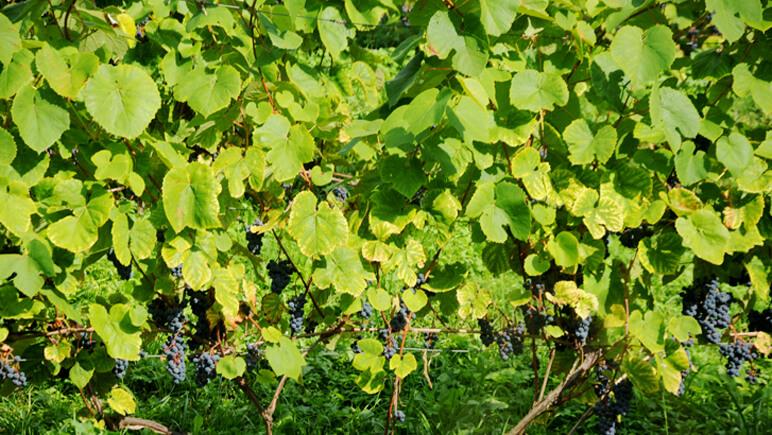 Weinberge von Sabile im Westen von Lettland - Credits J. Grieschat