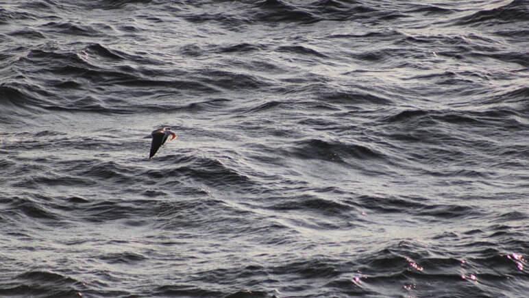 Mantelmöwe © DFDS